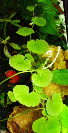 Brazilian Pennywort (Hydrocotyle leucocephala) - readily available easy and fast-growing plant, 4-8""
