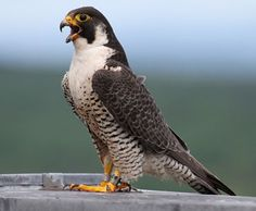 About Peregrine Falcons | UMass Lowell