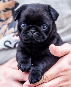 Holding a 10 week old pug. I want a black pug, they are so Cute. Black Pug Puppies, Cute Puppies, Cute Dogs, Dogs And Puppies, Doggies, Terrier Puppies, Bulldog Puppies, Boston Terrier, Baby Black Pug