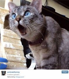 Funniest Cats Faces and Reactions: Mood Transformers - Gifts and more - Funny Animal Pictures-Cats and Dogs: Pets Are Mood Changers - Funny Cat Faces, Cute Funny Animals, Funny Animal Pictures, Cute Baby Animals, Funny Cute, Funniest Animals, Silly Cats, Top Funny, Super Funny