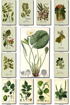 LEAVES GRASS-33 Collection of 218 vintage images vegetable