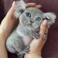 Koala kitten Pet Pigeon, Taco Cat, Face Swaps, Cat Lovers, Kitten, Pets, Animals, Cute Kittens, Kitty