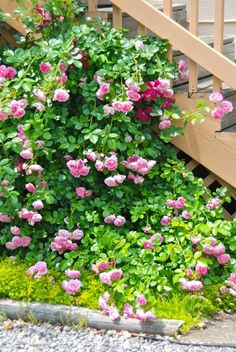This trellis disguises our trash can area, under a staircase. We pulled out one sidewalk paver to make room to plant the rose five years ago, and added Sedum 'Acre' to keep the weeds out. The clematis was planted last year. Both climbers are given a good mulching with mushroom compost in the spring to help them in this hot, dry area. Cars park right up to the railroad tie, which you see at the bottom; it separates the planting hole from the gravel parking lot. ~WMG