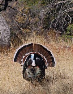 Gould's Wild Turkey