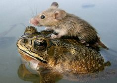 Seasonal floodwaters in India sometimes force unlikely partnerships, like this mouse, who's hitched a ride on the back of his newfound friend.