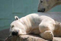 Polar bear, via Flickr.