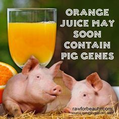 This can't be kosher. Pig genes in orange juice? for what? To lower the glycemic index by adding fat?