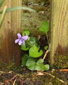 Gartenbuddelei Sweet Violets, Gras, Fruit, Plants, Bud, Violets, Plant, Planets