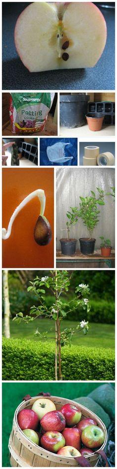 Aprenda cómo usted puede crecer sus propios árboles de manzana de Semillas - Jardines de hoy