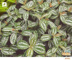 Já ouviu falar em uma folhagem chamada Alumínio? Ela existe e é muito bonita por sinal! Essa planta tem pequenas flores brancas que surgem no verão. Você pode cultivar em vasos, jardineiras, canteiros, ou ainda como bordadura.