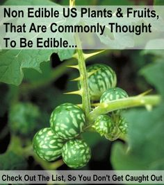 Non edible US plants and fruits that are commonly thought to be edible. knowledgeweighsnothing.com