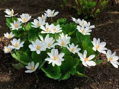 Bloodroot thrive in zones 3-9 Compost Soil, Organic Compost, Organic Gardening, All Plants, Growing Plants, Garden Plants, White Flowers, Beautiful Flowers, Buy Flowers