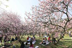 Há 38 anos, chegavam 600 mudas de cerejeira direto do Japão para o parque do Carmo, em Itaquera, zona leste de São Paulo.