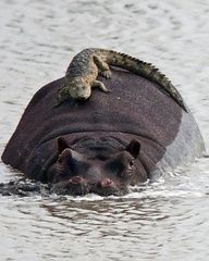 Hippo and crocodile Animals Wildlife Nature Pictures Photography Birds Fish