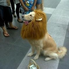 Dog Costume ... Cowardly Lion from Wizard of Oz ? ... Or... The King From the Lion the Witch and the Wardrobe? ... I see a little basket, as thou his little human is dressed as Dorothy :)