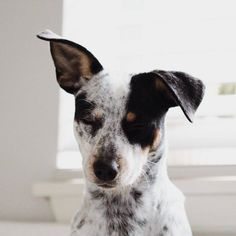 Kora the Heeler Dog Nose, Australian Cattle Dog, Mans Best Friend, Dogs And Puppies, Doggies, Cute Dogs, Dog Lovers, Dog Cat, Terrier