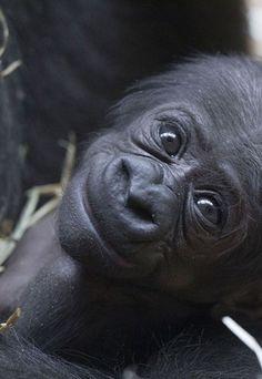 Baby gorilla                                                       …