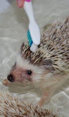 Cute Pet Hedgehog Bath Time /  buzzhunt.com