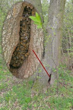 Colonia de abejas en árbol hueco - Bee colony in hollow tree.