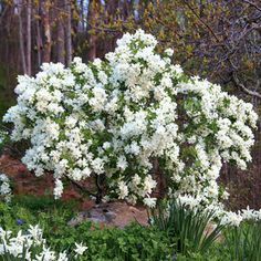 Snow Day™ Blizzard Pearl-Bush: Can be pruned to keep it small or trained to grow as a small tree. (Height: 5' - 6'; Zones 4 - 8).