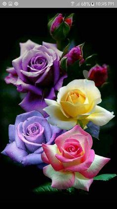 Flowers Beautiful flowers Rose B Beautiful Flowers Wallpapers, Beautiful Rose Flowers, Flowers Nature, Exotic Flowers, Amazing Flowers, Pretty Flowers, Colorful Flowers, Love Rose Flower, Multi Colored Flowers
