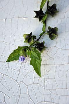 ( Nicandra physaloides / lila Lampionblume vertreibt Schädlinge und Mäuse )