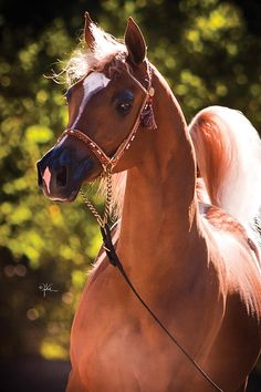 Arabian Horse - look at that delicate face Black Arabian Horse, Egyptian Arabian Horses, Beautiful Arabian Horses, Majestic Horse, Horse Photos, Horse Pictures, Arabian Stallions, Arabian Beauty, Most Beautiful Animals