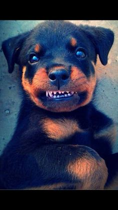 Dog fact of the week: Puppies start to lose their baby teeth and grow permanent adult teeth about four months old