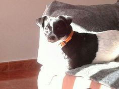 Home.Family Boston Terrier, Dogs, Animals, Boston Terriers, Animales, Animaux, Animal Memes, Animal, Pet Dogs