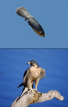 Peregrine Falcon can reach over 200 mph while diving