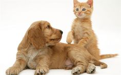 Download wallpapers English cocker spaniel, puppy, kitten, friendship concepts, dog and cat, cute animals pets