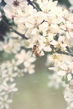 Once upon a time Photos Bee pollinating wild plum tree flowers in soft spring haze.? ? ? This photography belongs to my ** by Les Hirondelles Ph
