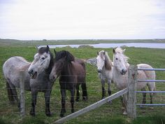 Eriskay ponies in South Uist in the Outer Hebrides