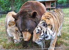 Urso, tigre e leão são amigos há 15 anos e provam que é possível conviver juntos | Virgula