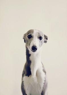 cute doggies, they always looks like puppies - greyhound