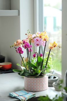 Phalaenopsis_purple_yellow_pink_home_cheerful orchids