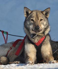 iditarod sled dog------doing the dry run was sooo much fun, gonna see the Iditarod.