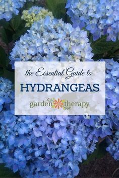 The Essential Guide to Hydrangeas--I've always wanted foundation plantings of hydrangea which would spill over onto our front porch in waves of color all summer.
