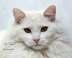 Meet Ghost, a Petfinder adoptable Domestic Long Hair-white Cat   Santa Fe, NM   HISTORY: GHOST was raised by a kind family who recently lost their home, and are therefore no...