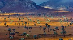 Palm trees growing on a savanna, Madagascar (© Frans Lanting/Corbis)