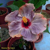 Moorea My Island Taiwan Hibiscus - Linda Lee Find Name, Name Origins, Blue Hibiscus, Exotic, Tropical, Taiwan, Island, Plants, Beautiful