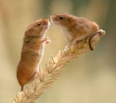 """Top Harvest Mouse """"Please will you give me a kiss Maud?"""