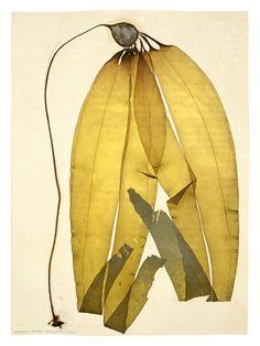 """gacougnol: """" Dianne Korber N. leutekeana 1 Archival Pigment Print 2005 """""""