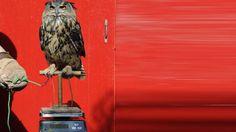 El búho Max permanece sobre una balanza durante el recuento anual de todos los animales en el Zoo de Londres. (EFE)