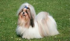 Shih Tzus are a small breed with lots of personality, and are usually affectionate and outgoing. Learn more information and facts about Shih Tzus in our breed page. Shih Tzu Puppy, Shih Tzus, Large Dogs, Small Dogs, Brown Shih Tzu, Non Shedding Dogs, Allergic To Dogs, Hypoallergenic Dog Breed, Tibetan Terrier