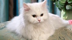 Pictures Persian Cats   persian cat pictures photo   Funny and Cute Black HD Pet Dog and Cat ...