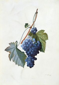 Старый гербарий - Georg Dionysius Ehret