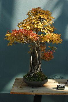 Acer buergerianum, Bonsai, Root over rock style (Sekijoju), Brooklyn Botanic Garden photo by Flatbush Gardener Bonsai Plants, Bonsai Garden, Garden Plants, House Plants, Bonsai Trees, Ikebana, Plantas Bonsai, Maple Bonsai, Pot Jardin