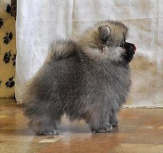 I want a Keeshond puppy so bad!!!