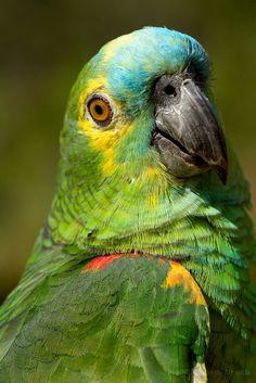 papagaio verdadeiro - Pesquisa Google